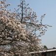 京都御苑のサクラ。