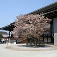 紫宸殿、左近の桜。