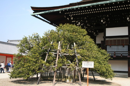 紫宸殿、右近の橘。