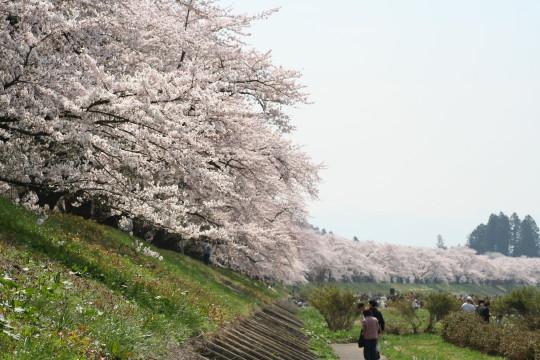 2008sakura1