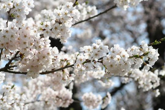 2008sakura2
