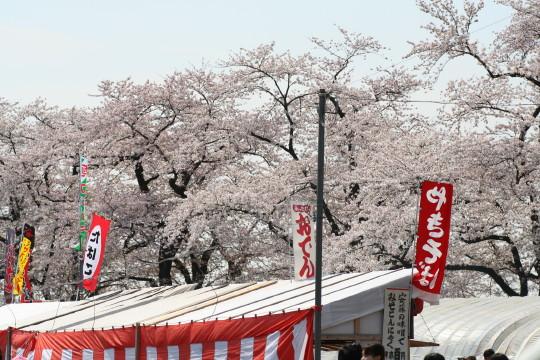 2008sakura3