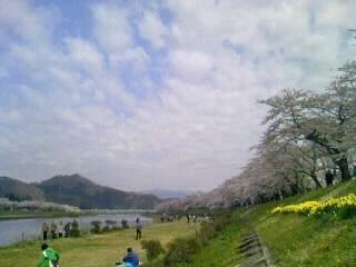 今日のソメイヨシノ@桧木内川堤。