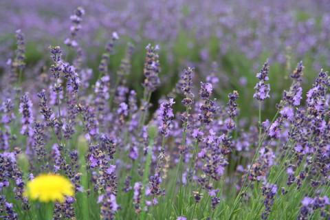 Dandelion_with_lavender