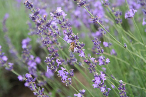 Honeybee_with_lavender