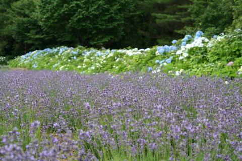 Hydrangea_with_lavender